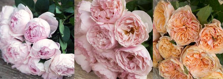 roser-